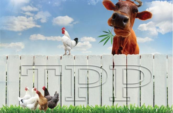Doanh nghiệp nuôi bò: Chưa ngại TPP