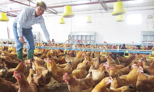 Tay trắng nuôi gà Pháp doanh thu 18 tỷ đồng mỗi năm