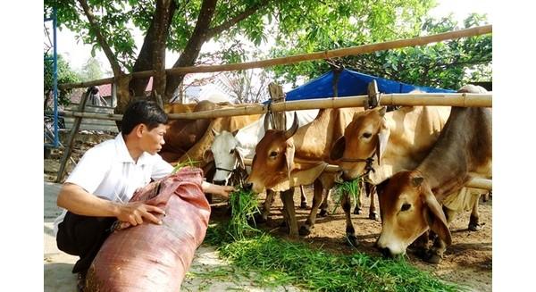 Cơn lốc bò Úc nhập khẩu: Bò nội có bị lật đổ?