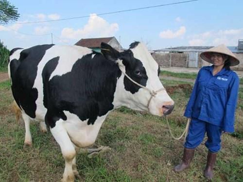 Quy hoạch vùng nguyên liệu để nuôi bò sữa