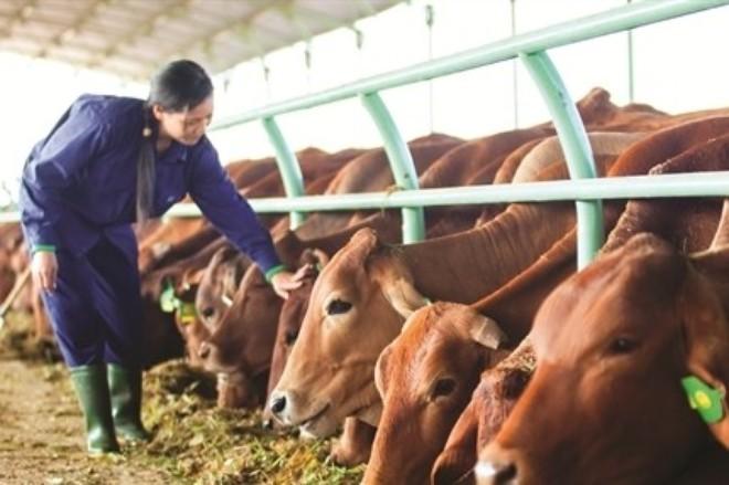 Ai mua bò của bầu Đức?