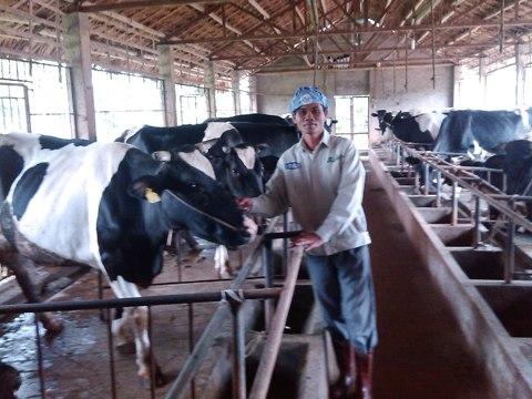 Anh nông dân làm giàu từ bò sữa