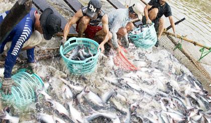 Tỷ phú cá tra xứ cù lao Tân Phong