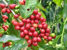 Giá cà phê trong nước giảm tiếp 400 nghìn đồng/tấn