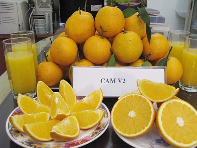 Việt Nam làm chủ công nghệ tạo giống cây ăn quả có múi không hạt