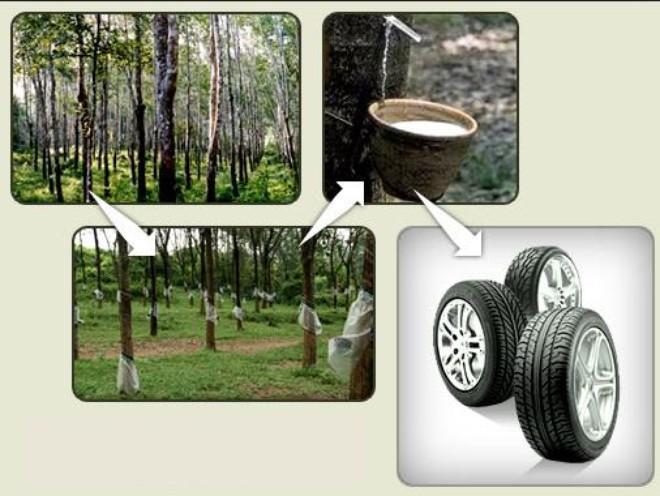 Các hãng sản xuất lốp xe vẫn trồng cao su dù đang dư thừa cung