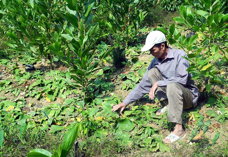 Trồng cây địa liền ở thôn Nam Hả Trong (Ba Chẽ)