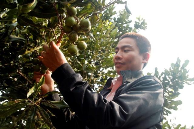 Tiêu chuẩn kỹ thuật đầu tiên cho cây mắc ca ở Việt Nam