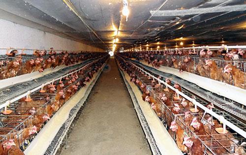 Doanh nghiệp chăn nuôi chọn miếng bánh nhỏ trong TPP