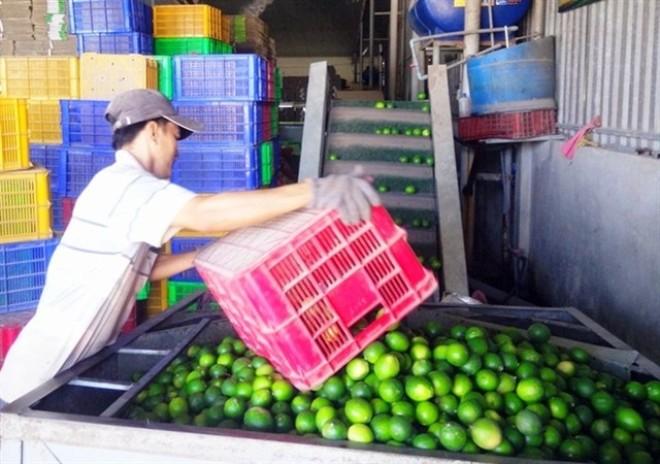 Chanh chiếm 30% tổng kim ngạch XK trái cây
