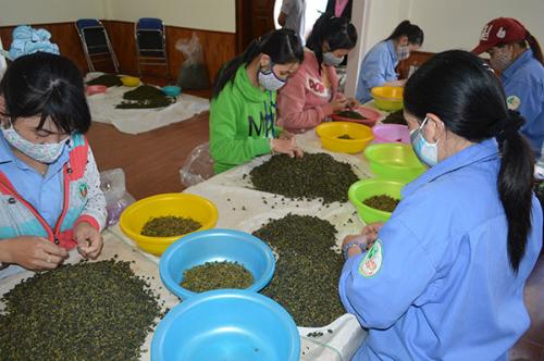 Lâm Đồng tồn đọng hàng trăm tấn trà