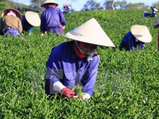 """Chè """"made in Vietnam"""" và TPP: Mối lo vấn nạn suốt 20 năm qua"""
