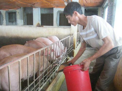 Nuôi lợn bằng thuốc bắc lãi trăm triệu mỗi tháng
