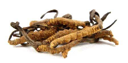 Việt Nam nuôi cấy thành công chi nấm đông trùng hạ thảo quý nhất