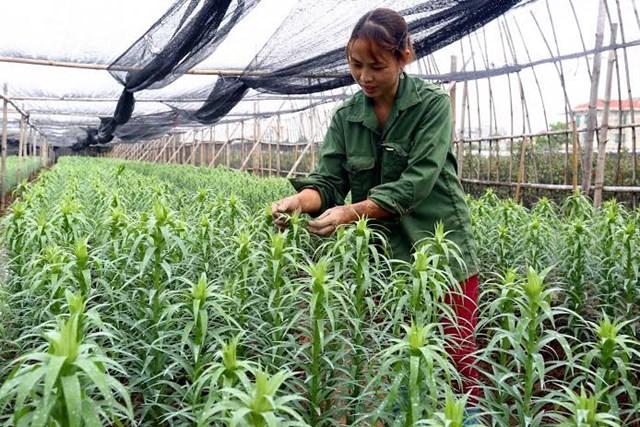 Lãi hàng trăm triệu đồng mỗi năm nhờ trồng hoa ly