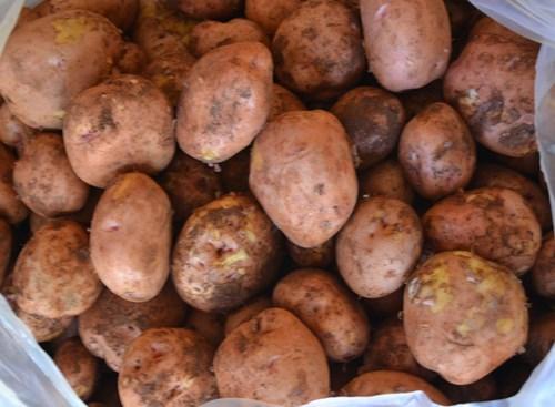 Làm sao phân biệt khoai tây Đà Lạt và khoai tây Trung Quốc?
