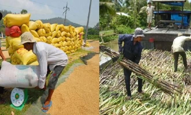 """Nông nghiệp đón """"sóng"""" TPP: Lúa gạo hưởng lợi, mía đường """"lâm nguy"""""""