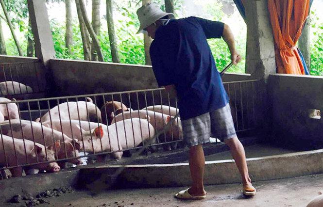 Tràn lan chất cấm trong chăn nuôi