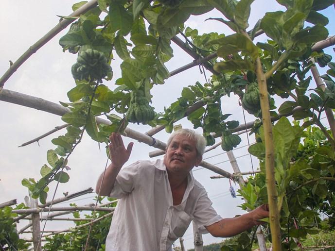 Bí quyết làm giàu: Trồng phật thủ trĩu quả ở Tây Ninh