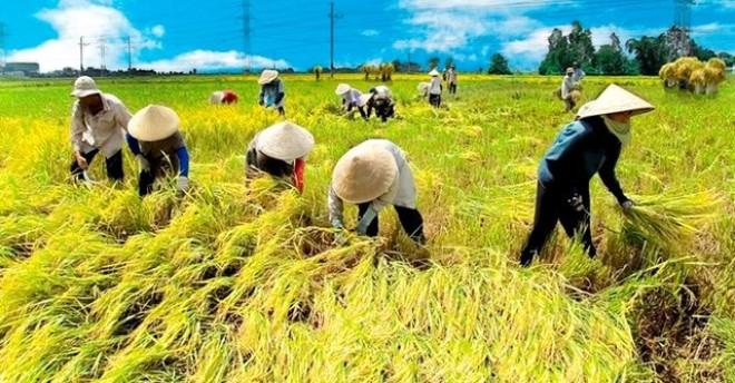 Nông nghiệp Việt Nam: Nghịch lý nhìn từ ngành lúa gạo