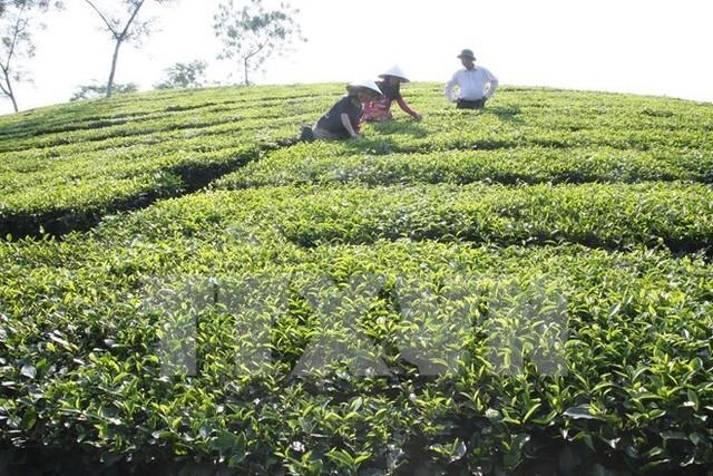 Thực hư về thông tin trà Ô long ở Lâm Đồng tồn kho 2.000 tấn