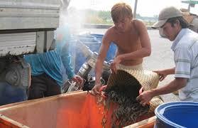 Trung Quốc 'điều khiển' thị trường thủy sản Việt