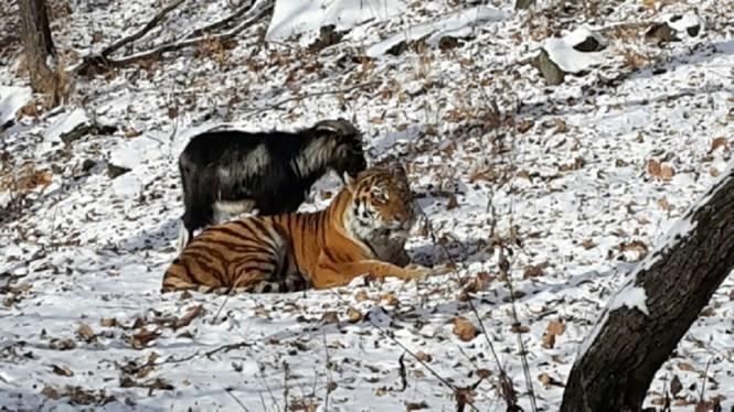 Kinh tế Mỹ và Trung Quốc: Ai là hổ, ai là dê?