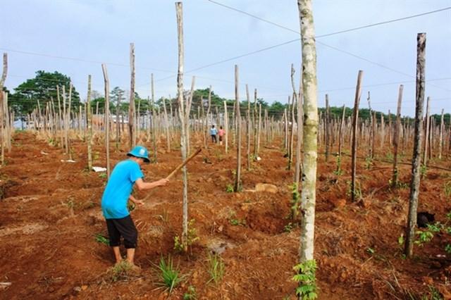 Tiếp tục lên cơn sốt trồng tiêu